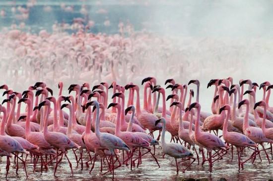 Lake Nakuru Flamingos