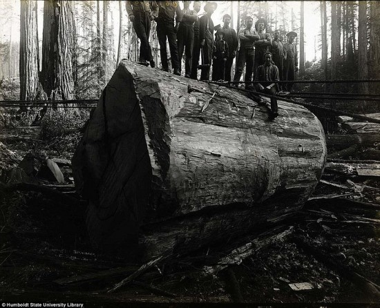 Lumberjacks Redwood