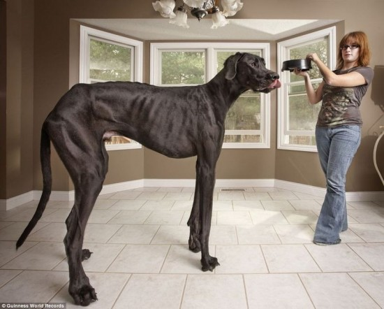tallest dog is Zeus (USA)